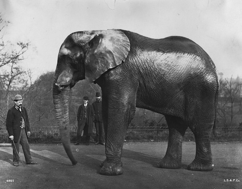 Circa 1890: Jumbo, the famous elephant which belonged to US showman Phineas Taylor Barnum, at London Zoo in Regent's Park. (Photo by London Stereoscopic Company/Getty Images)