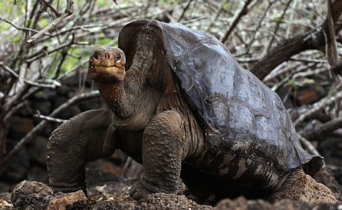 Lonesome George, the last giant tortoise of his species, has died at about 100 years of age. (June, 2006) (RODRIGO BUENDIA / AFP)